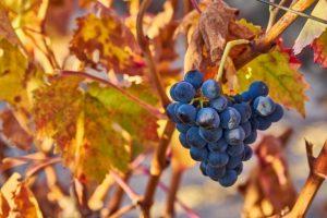 Vinyards in Rioja Alavesa