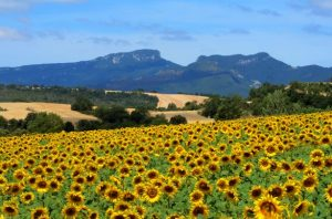 Sunflowers at the Valdegovía Valley In Basque Country